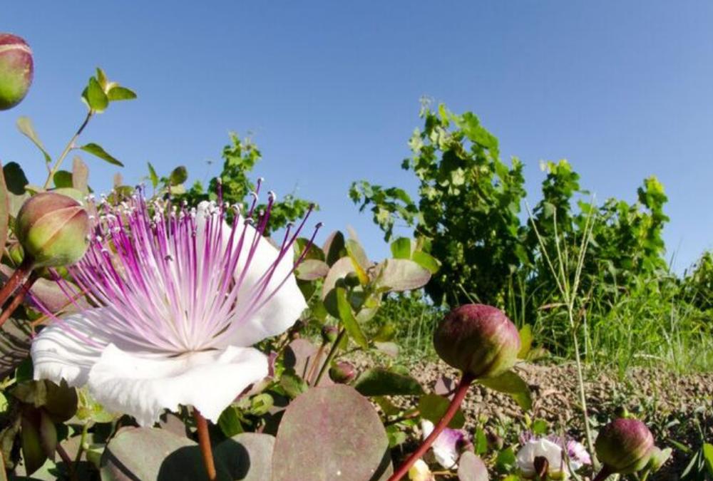 Fleurs de câprier sur île de Pantelleria